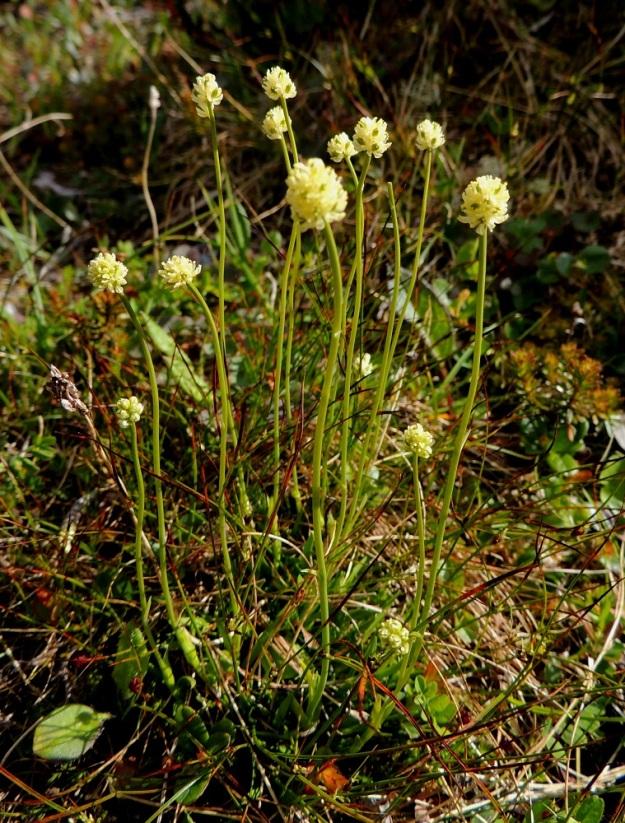 Tofieldia pusilla - pohjankarhunruoho on kukkiessaan tavallisesti noin 8-15 cm korkea. Varret kasvavat yksittäin tai usein ryhminä ja ovat pystyt, haarattomat ja vihreät sekä usein lehdettömät. Toisinaan mitättömän pieniä ja enimmilläänkin sentin mittaisia, neulasmaisen kapeita varsilehtiä on yksi tai kaksi ja hyvin harvoin enemmänkin. Kuvan kasvustossa niitä on ainakin viidessä varressa. EnL, Enontekiö, Kilpisjärvi, Saana, luoteisrinteen tunturikangas lähellä lounaista pahtaseinämää, 735 m mpy, 17.7.2013. Copyright Hannu Kämäräinen.