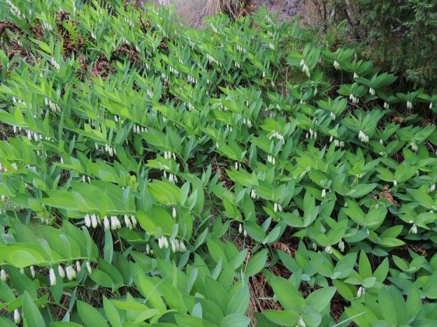 Polygonatum odoratum - kalliokielon varsi on latvaosastaan viisto tai nuokkuva. Tutkimusten mukaan vain noin 25 prosenttia kasvuston versoista kukkii. Kuvan esittämässä varsikossa kukintaprosentti on kyllä huomattavasti suurempi. A, Maarianhamina, Länsisataman pohjoispuoli, Badhusbergetin mereen laskeva, kallioinen rinne, 1.6.2013. Copyright Hannu Kämäräinen.