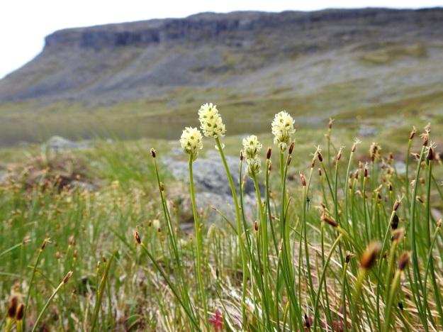 Tofieldia pusilla - pohjankarhunruohoa voidaan pitää kalkinsuosijana. Se vaatii kuitenkin ympärilleen avaruutta eikä menesty rehevän, korkeamman kasvillisuuden paineessa. Kuvassa seuralaisena on tupasluikka, Trichophorum cespitosum. EnL, Enontekiö, Kilpisjärvi, Saanan koillispuoli, Saanajärven pohjoispäähän laskevan tunturipuron laide, 680 m mpy, 6.7.2018. Copyright Hannu Kämäräinen.