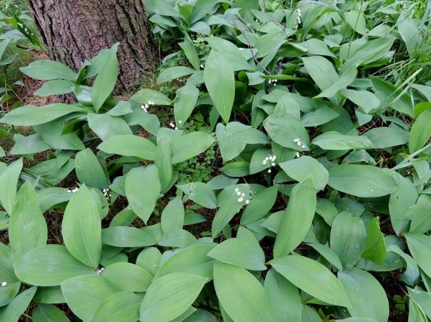 Convallaria majalis - (kello)kielon lehdet saavat kesän edetessä pintaansa useimmiten sinivihreän sävyn. On laskettu, että vain 2-3 prosenttia kielokasvuston versoista olisi kukallisia. Herää kysymys, voisiko ainakin osasyynä olla kasvullinen leviäminen, jossa kukinnot eivät ole enää tarpeen. EH, Hämeenlinna, Loimalahti, Hirsimäki, harvapuustoinen kangasmaasto, kävelytien laide, 20.6.2015. Copyright Hannu Kämäräinen.