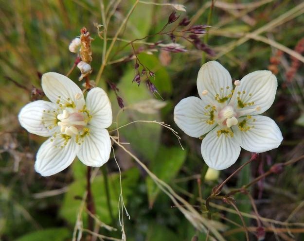 Parnassia palustris - suovilukon kukan terälehtiä on viisi. Ne ovat valkoiset, selväsuoniset ja soikeat. Pituutta niillä on noin 7-14 mm ja leveyttä leveimmältä kohtaa noin 5-8 mm. Terälehtien tyvellä on viisi joutohedettä. Kasvi varmistaa pitkän pölytysajan aktivoimalla vain yhden viidestä heteestään kerrallaan. Heteet kaartuvat aluksi tiiviisti emiön ympärille. Vasemmanpuoleisessa kukassa kolme hedettä odottavat vuoroaan, yksi on aktiivi ja yksi on tehtävänsä jo hoitanut. Oikeanpuoleisessa kukassa yksi odottaa vuoroaan, yhden ponsi on tyhjenemässä ja kolme ovat tyhjentynein ponsin ojentuneet sivulle. EnL, Enontekiö, Kilpisjärvi, Saanan lounainen alarinne Käsivarrentien laidassa, lettosuon reunan valuvetinen kivikkorinne, 485 m mpy, 16.7.2013. Copyright Hannu Kämäräinen.