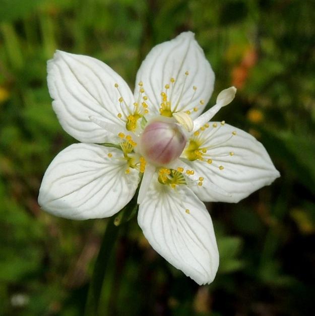 Parnassia palustris - suovilukon joutoheteet tekevät kukasta läheltä katsottuna erikoisen ja koristeellisen. Joutoheteiden lavan kärjessä on noin 8-15 keltanuppipäistä ja noin 3-5 mm pitkää ripseä. Joutohede on samalla myös mesiäinen, jonka tyvellä on mettä. Kuvan kukassa kolme hedettä on menettänyt jo pontensa kokonaan ja enää yksi hede odottaa avautumisvuoroaan. Vielä tässäkään vaiheessa emin luotit eivät ole kehittyneet näkyville. KP, Vimpeli, Koskelasta koilliseen oleva Kotakangas, entinen kalkkilouhosalue, alueelle tulevan tieuran laitaketo, 18.7.2015. Copyright Hannu Kämäräinen.