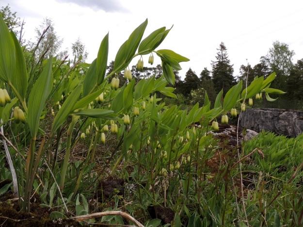 Polygonatum odoratum - kalliokielon kukintojen toista ääripäätä edustavat kuvassa olevat versot, jotka ilmeisesti ovat samaa kasvullisesti levittäytynyttä yksilöä. Lähes kaikissa lehtihangoissa on kukkapari, joilla on yhteinen mutta haarautunut perä. Varret ovat alhaalta asti särmikkäät eikä kukkakehissä ole vähäisintäkään kaventavaa kuroumaa, joten yksilössä ei ole risteymäperimää lehtokielolta, P. multiflorum. Kuvassa näkyvät hyvin myös varren alaosassa olevat tuppi- ja kalvomaiset alalehdet, jotka kesän edetessä lakastuvat ja karisevat pois. U, Sipoo, Kalkkiranta, Kalkkirannantien laitakallio aidatun louhosalueen vieressä, 21.5.2016. Copyright Hannu Kämäräinen.