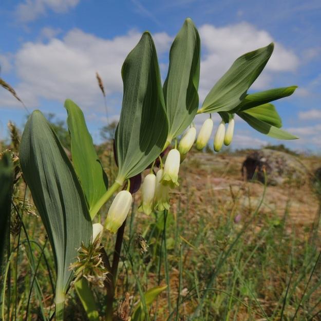 Polygonatum odoratum - kalliokielon yleisempi kukintatapa on, että yksittäisten kukkien joukossa on enintään pari kaksikukkaista lehtihankaa. Lavalliset lehdet ovat tupettomia ja lähes tai aivan ruodittomia. Lehtilapa on poimuton, vaikka alkukesästä laita voikin olla hieman alaspäin kiertynyt. Se on soikea tai kapeanpuikea. Lehtilaita on ehyt ja kärki suippo sekä terävä- tai kuvan tavoin tylppäpäinen. Lehti on silposuoninen, päältä vihreä ja alta sinivihreä. Alapinnalla suonet ovat koholla. Pituutta lehtilavalla on pienempiä kärkilehtiä lukuun ottamatta tavallisesti noin 5-11 cm ja leveyttä leveimmältä kohtaa noin 1,5-3,5 cm. A, Lemland, Styrsön ja Nåtön välinen Rödgrundet, jonka maantie lävistää, kallioketo, 27.5.2013. Copyright Hannu Kämäräinen.