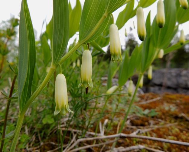 Polygonatum odoratum - kalliokielon kukat ovat nuokkuvat, valkoiset mutta erityisesti kärjestään vihertävät tai kellanvihreät, torvimaiset ja tieteellisen nimensä mukaisesti tuoksuvat. Kukan näkyvin osa muodostuu yhdislehtisestä, kuusisuonisesta ja kärjestään kuusiliuskaisesta kehästä, joka on tavallisesti noin 15-25 mm pitkä ja noin 4-8 mm leveä. Kehätorven sivut ovat ennen kuihtumisvaihetta tasaiset ja ilman kaventavaa kuroumaa. U, Sipoo, Kalkkiranta, Kalkkirannantien laitakallio aidatun louhosalueen vieressä, 21.5.2016. Copyright Hannu Kämäräinen.