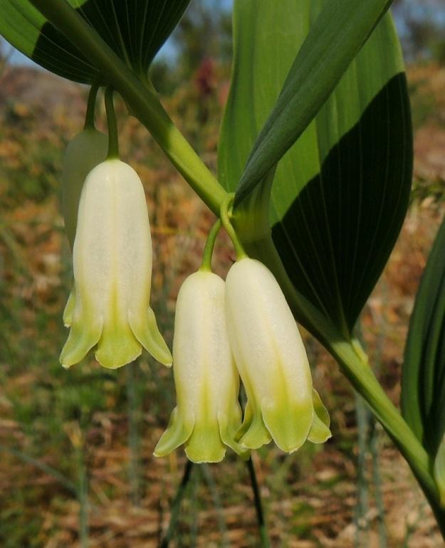 Polygonatum odoratum - kalliokielon kukkakehän kärkiliuskat ovat pyöreähköt tai pyöreän kolmiomaiset ja hieman ulospäin kaartuvat. Niiden reuna on vaalea ja nukkainen. Liuskojen osuus kehän pituudesta on noin 4-6 mm. Parillisissa kukissa toisinaan niiden perät ovat kuvan tavoin erilliset lehtihankaan saakka. A, Lemland, Styrsön ja Nåtön välinen Rödgrundet, jonka maantie lävistää, kallioketo, 27.5.2013. Copyright Hannu Kämäräinen.