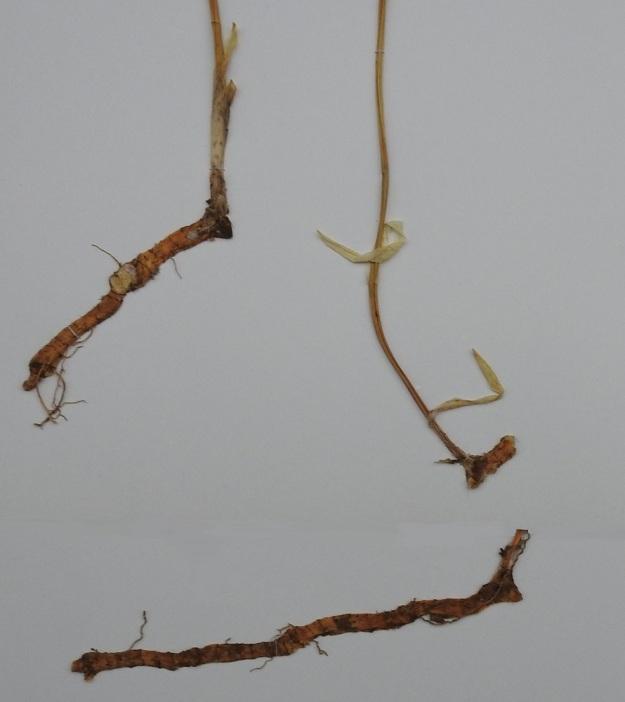 Polygonatum odoratum - kalliokielon juurakko on lähes tai aivan vaakasuora, pitkä ja paksu. Näytekuvassa näkyvät myös varren alaosan tuppi- ja kalvomaiset, lavattomat lehdet, jotka kesän edetessä kuihtuvat ja kuoriutuvat pois. EH, Hämeenlinna, Loimalahti, Tervaniemi, Saunalahdelle johtavan metsätien varsi, 13.6.1993. Kuva näytteestä, copyright Hannu Kämäräinen.