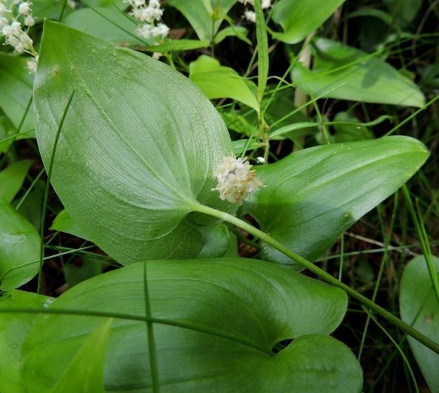 Maianthemum bifolium - (metsä)oravanmarjan aluslehtien ruoti on yleensä noin 7-15 cm pitkä, ohut ja yleensä muuten kalju mutta yläosastaan usein karvainen. Kaikki lehdet ovat silposuonisia, päältä kaljuja ja alta enemmän tai vähemmän karvaisia. U, Hyvinkää, lounaiskulma, Hangonväylältä (tie 25) lähtevän Kalkkivuorentien laita, metsämaasto, 21.6.2015. Copyright Hannu Kämäräinen.