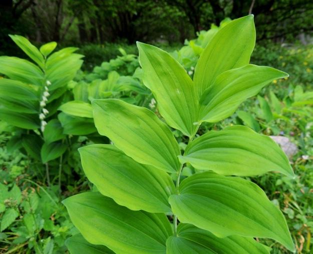 Polygonatum multiflorum - lehtokielon lehtilapa on päältä vihreä, laidoiltaan poimuinen ja soikea tai soikean puikea. Lehtilaita on ehyt ja kärki suippo sekä päästään tylpähkö. Pituutta lehtilavalla on tavallisesti noin 7-13 cm ja leveyttä leveimmältä kohtaa noin 2-4 cm. A, Jomala, Ramsholm, luonnonsuojelualue, niemen keskiosa, läntinen rantaniitty, 29.5.2013. Copyright Hannu Kämäräinen.