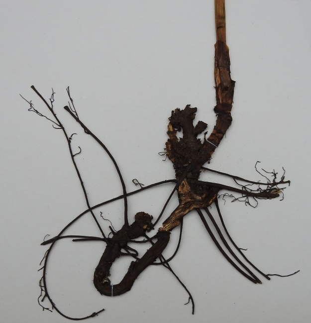 Actaea spicata - mustakonnanmarjan juurakko on lyhyehkö, viisto, tummanruskea ja puutunut sekä pitkäjuurinen. EH, Hämeenlinna, Pullerinmäki, Ahvenistonharjun rehevähkö koillisrinne moottoriradan kohdalla, 19.6.1985. Kuva näytteestä, copyright Hannu Kämäräinen.