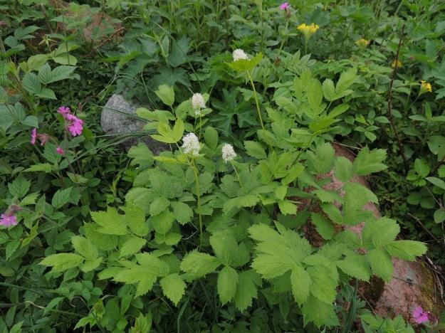Actaea spicata - mustakonnanmarja kasvaa useimmiten tuoreissa ja kuivahkoissa lehtometsissä sekä kuvan tavoin myös riittävän varjoisilla lehtoniityillä. A, Lemland, eteläpää, Björkö, Grillskärin niemi, lehtoniitty, 1.6.2013. Copyright Hannu Kämäräinen.