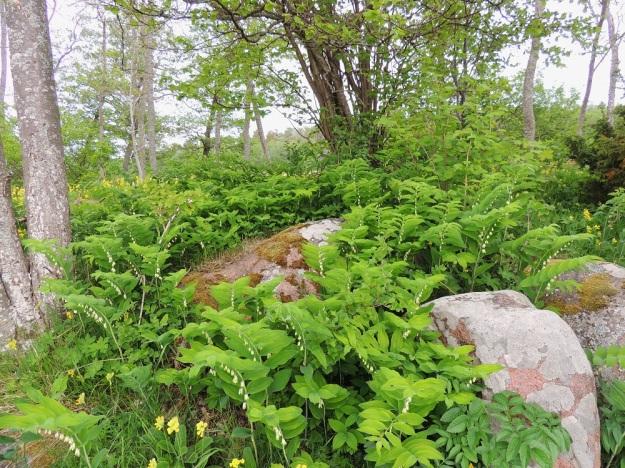Polygonatum multiflorum - lehtokielo kasvaa suomalaisen nimensä mukaisesti mm. lehdoissa ja lehtoniityillä. Se leviää tehokkaimmin kasvullisesti vaakasuoran juuristonsa avulla ja muodostaa usein tiheitä kasvustoja. Kuvassa seuralaisina mm. pähkinäpensas, Corylus avellana ja kevätesikko, Primula veris. A, Jomala, Ramsholm, luonnonsuojelualue, niemen eteläpää, rantaniityn laide, 29.5.2013. Copyright Hannu Kämäräinen.