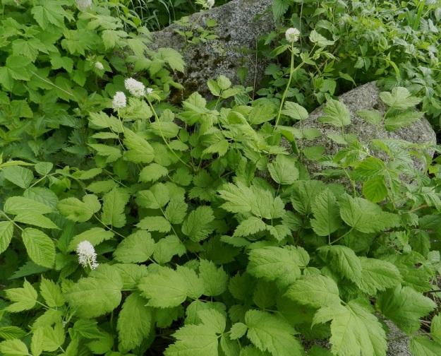 Actaea spicata - mustakonnanmarja kasvaa usein monivartisina ja -lehtisinä kasvustoina. Lehdet ovat alkuvaiheessa usein vaaleahkonvihreät ja tummenevat kesän myötä. Värisävyyn vaikuttaa myös kasvupaikan varjostus tai valoisuus. EH, Pälkäne, rauniokirkko, kirkkotarhan etelälaita, 4.6.2012. Copyright Hannu Kämäräinen.