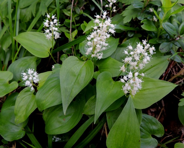 Maianthemum bifolium - (metsä)oravanmarjan varsiehdet ovat varren yläosassa kukinnon alapuolella. Lehtiruoti on yleensä noin 2-15 mm pitkä. Lehtilapa on leveämmän tai kapeamman herttamainen ja kärkeä kohti pitkältä matkalta suippeneva ja teräväkärkinen. Tyvilovi on yleensä matala ja leveä. Tyviliuskat ovat pyöristyneet. Lehtilapa on tavallisesti noin 2-6 cm pitkä ja leveimmältä kohtaa noin 1-4 cm leveä. U, Hyvinkää, lounaiskulma, Hangonväylältä (tie 25) lähtevän Kalkkivuorentien laita, metsämaasto, 21.6.2015. Copyright Hannu Kämäräinen.