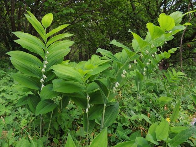 Polygonatum multiflorum - lehtokielo on omimmassa ympäristössään, lehdoissa ja lehtoniityillä, yleensä reheväkasvuinen. Lehdet sijaitsevat versolla kierteisesti kahdessa rivissä niin, että kärkeä lukuun ottamatta ne suuntautuvat sivulle ja yläviistoon. A, Jomala, Ramsholm, luonnonsuojelualue, niemen keskiosa, läntinen rantaniitty, 29.5.2013. Copyright Hannu Kämäräinen.