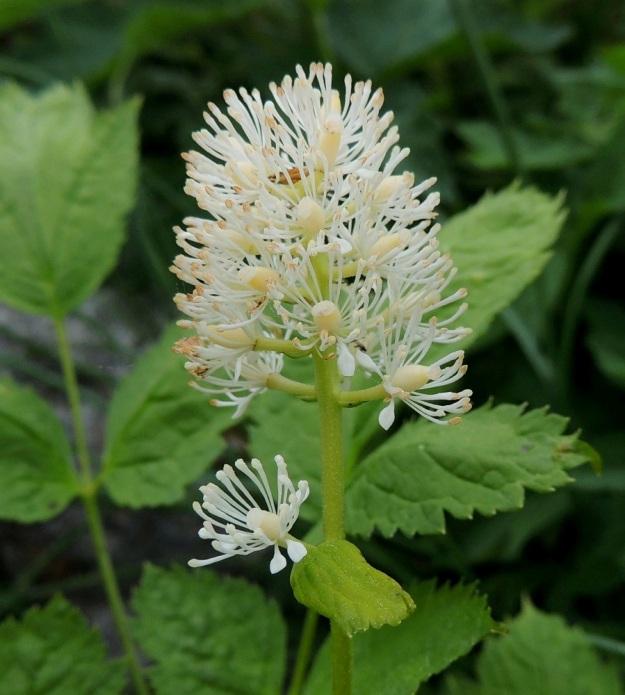 Actaea spicata - mustakonnanmarjan kukinto on yleensä 10-35-kukkainen. Lisäksi tertun alapuolella on usein yksi tai kaksi erillistä kukkaa. Tiheä kukinto-osa on tavallisesti noin 3-6 cm pitkä ja noin 1,5-2,5 cm leveä. Kukat ovat hieman tuoksuvat, tukilehdelliset ja perälliset sekä noin 10 mm leveät. Tukilehdet ovat huomaamattoman pienet, lähes tasasoukat ja noin 0,5-3 mm pitkät. Kukkaperä on siirottava ja noin 1-5 mm pitkä. Terälehtiä on tavallisesti neljä. Ne ovat valkoiset, lähinnä lusikkamaiset ja hyvin kapeatyviset sekä noin 4 mm pitkät. Verholehtien tavoin myös ne varisevat varhain, yleensä kesken täyden kukinnan. A, Lemland, eteläpää, Björkö, Grillskärin niemi, lehtoniitty, 1.6.2013. Copyright Hannu Kämäräinen.