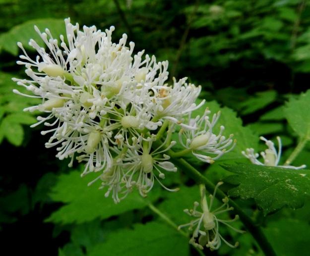 Actaea spicata - mustakonnanmarjan huomiota herättävin kukan osa on runsas hedepehko. Heteitä on tavallisesti 15-25 ja ne ovat noin 6-7 mm pitkät. Palho on litteä ja ponsi pieni sekä siitepölyvaiheessa yleensä kellertävä. Emiö on yksilehtinen ja -luottinen. Litteän levymäinen, hieman kaareva luotti on sikiäimen kärjessä ilman näkyvää vartaloa. Sikiäin on soikeahko, noin 3 mm pitkä ja aluksi kellertävä sekä myöhemmin vihertävä. EH, Hämeenlinna, Puistonmäki, Kaupunginpuisto, Vanajaveden rannasta nouseva lehtorinne, 1.6.2012. Copyright Hannu Kämäräinen.