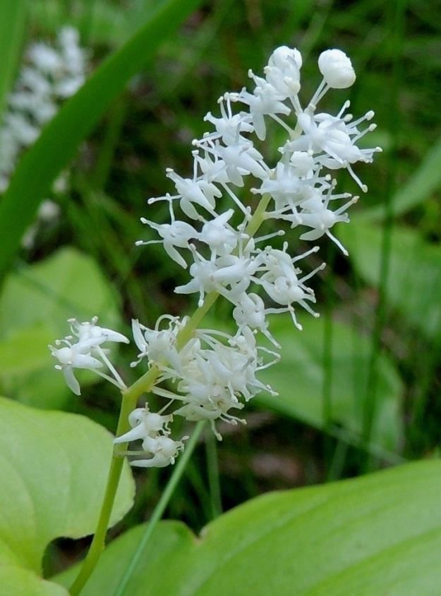 Maianthemum bifolium - (metsä)oravanmarjan kukintavaiheessa kaikki kukan osat ovat valkoiset. Erillisiä terälehtiä ei ole. Kehä on nelilehtinen. Kehälehdet ovat kapeansoikeat ja noin 1,5-2,5 mm pitkät. Ne ovat kukintavaiheessa yleensä taaksepäin kääntyneet. Heteitä on neljä ja ne ovat noin 1,5-2 mm pitkät. Emiö on yksivartaloinen ja -luottinen. Sikiäin on pallomainen ja halkaisijaltaan noin 1 mm. Emin vartalo on suora ja vajaa 1 mm pitkä. U, Hyvinkää, lounaiskulma, Hangonväylältä (tie 25) lähtevän Kalkkivuorentien laita, metsämaasto, 21.6.2015. Copyright Hannu Kämäräinen.