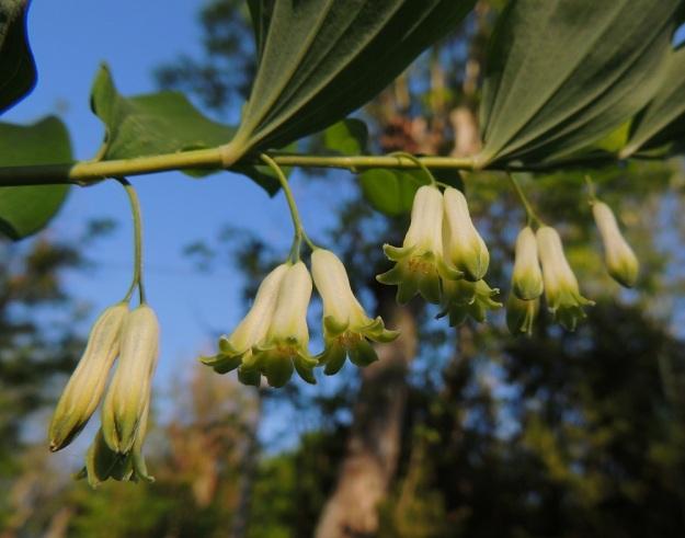 Polygonatum multiflorum - lehtokielon kukat ovat nuokkuvat. Kehän kärki on kuusiliuskainen. Kukan heteet ja emi yltävät torven suulle, liuskojen alalaidan tasalle. Sivusta katsoen niitä ei huomaa ollenkaan. A, Jomala, Ramsholm, luonnonsuojelualue, alueen pohjoispää, lehtoniitty, 7.6.2014. Copyright Hannu Kämäräinen.